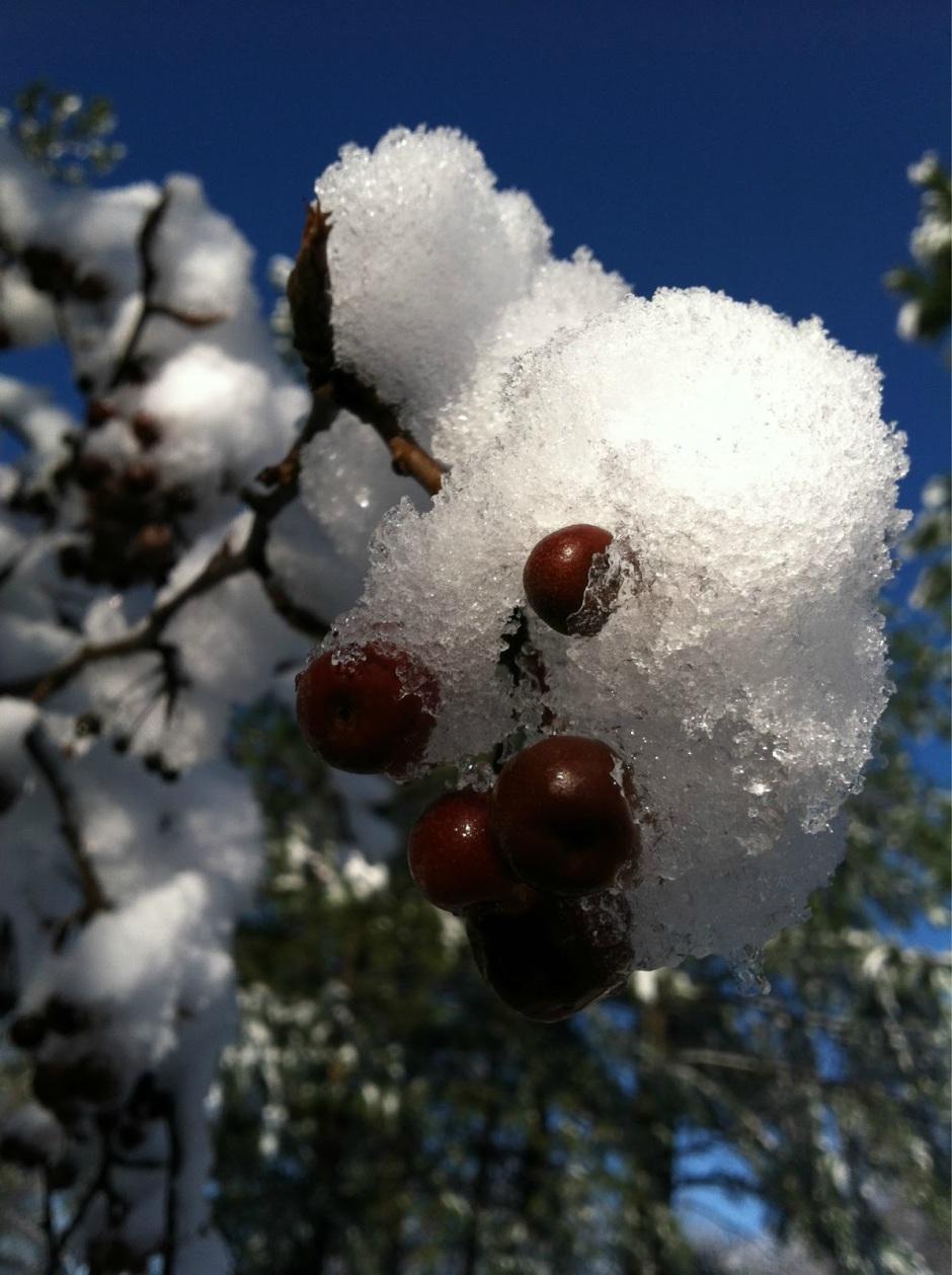 Joy of Snow on Crab Apple Tree