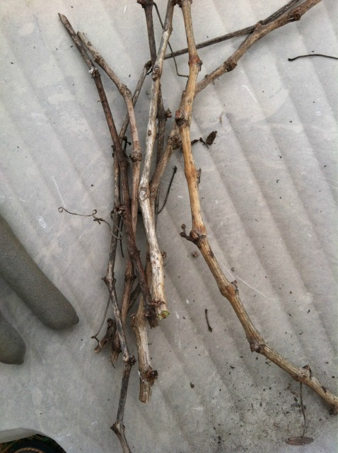 pruned grapevine clippings