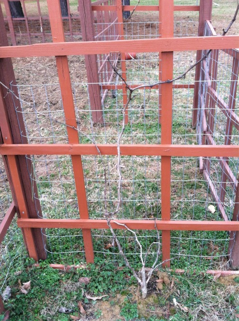 grapvevine before pruning