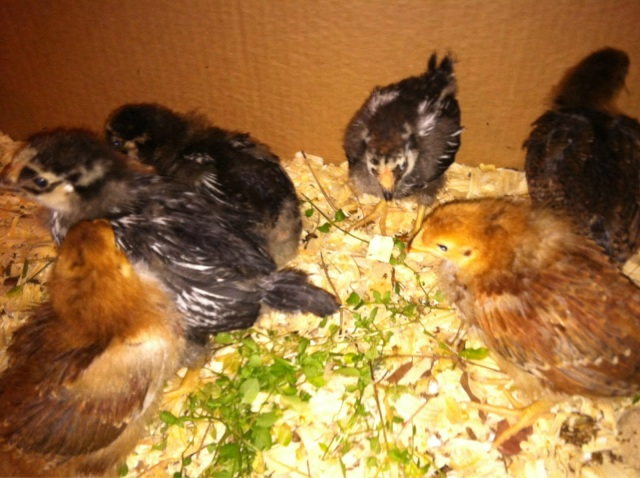 Summers Acres Baby Chicks Day 19