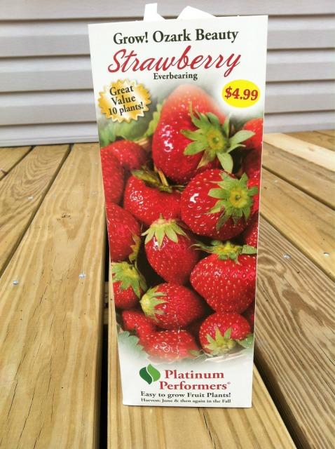 Ozark Beauty Everbearing Strawberries