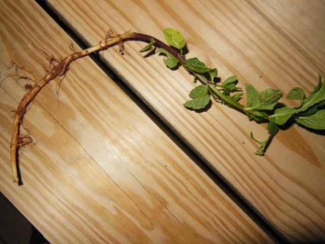 Roots of Mint Plant