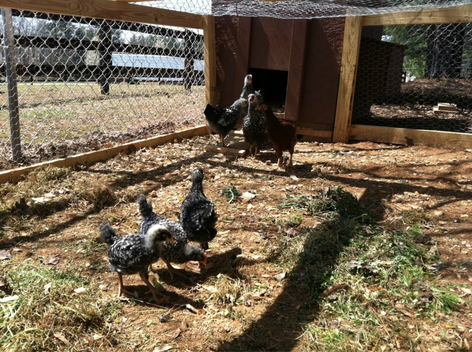 Chicken Introductions