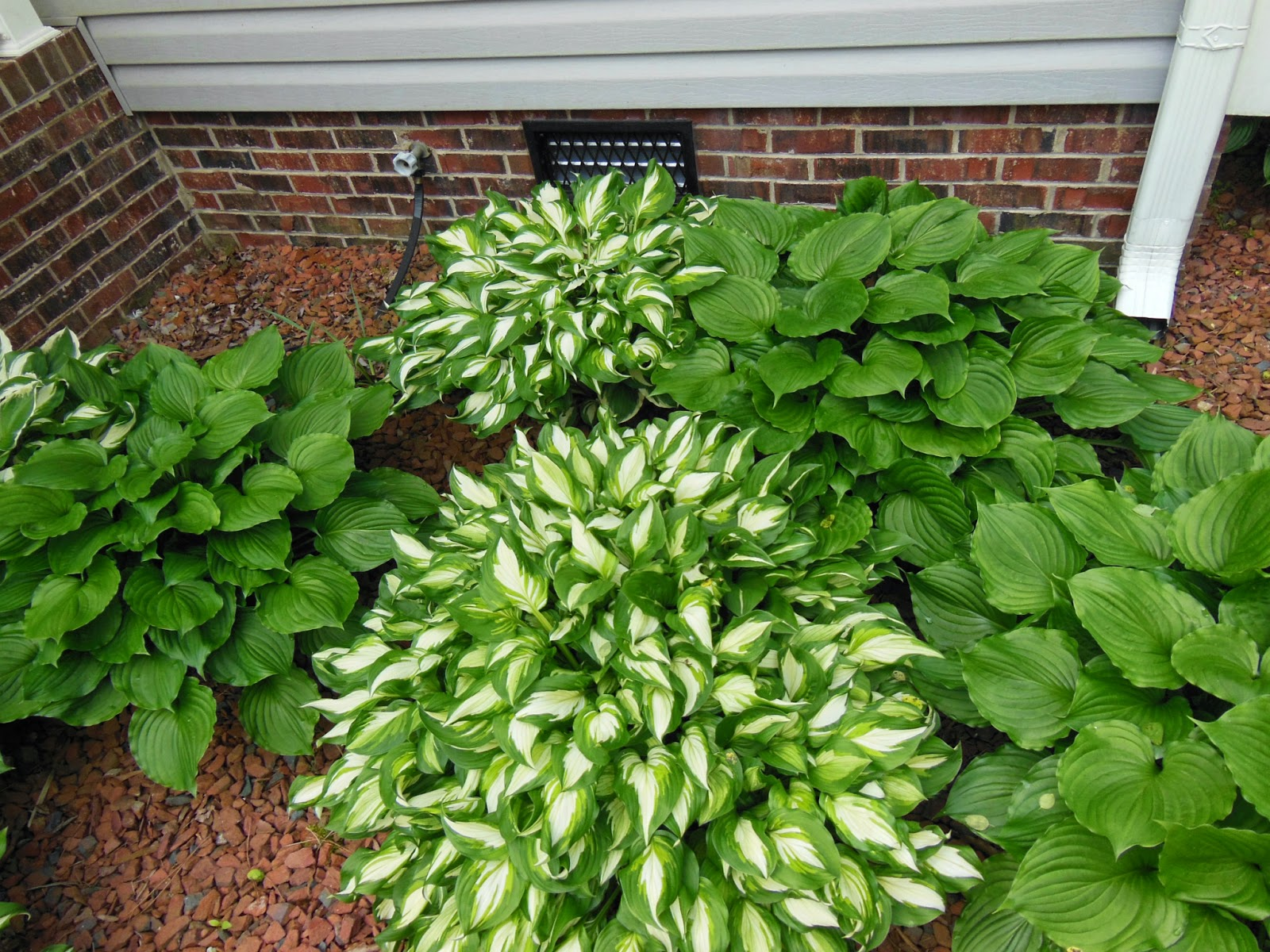 How To Divide Hostas Summers Acres