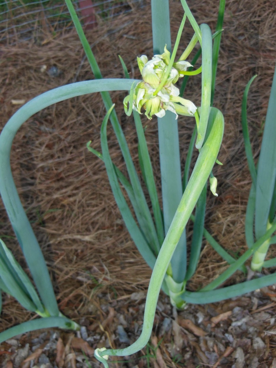 Walking Onions 6 Month Update