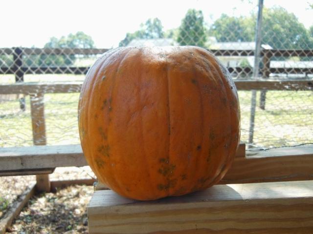 Our Stemless Holey Pumpkin