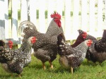 Plymouth Barred Rock Chicken and Rooster