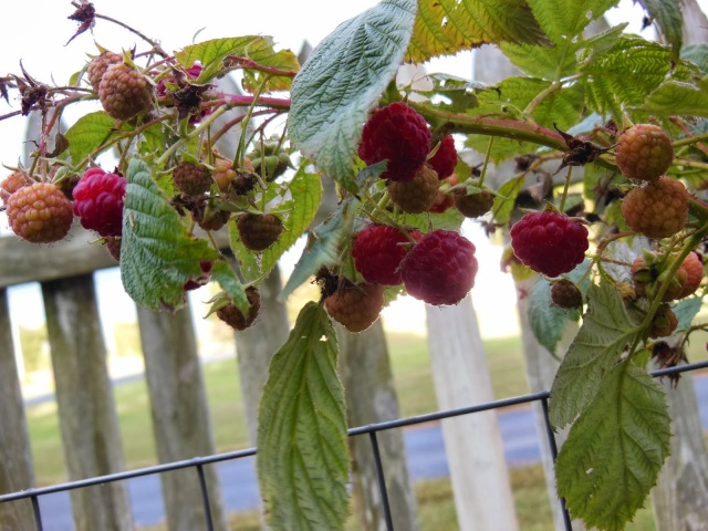 Heritage Everbearing Raspberries Fall Crop