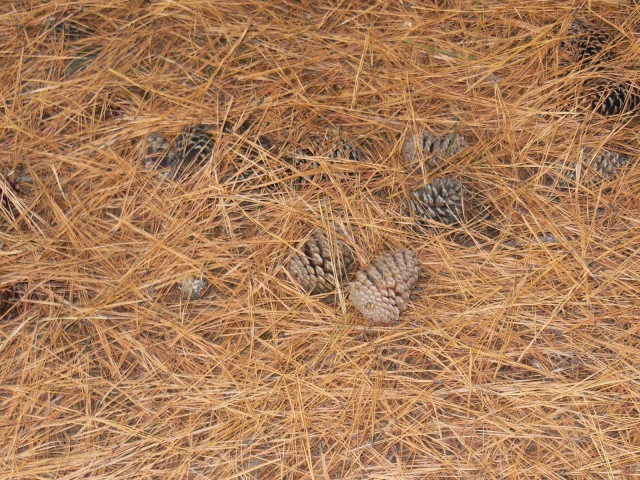 The Layer of Pine Cones and Needles Are Getting Thick