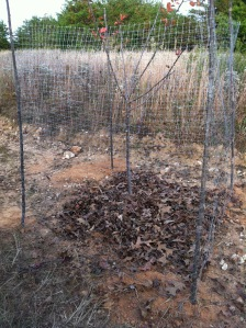 Honey Crisp Apple Tree Caged to Protect from Deer
