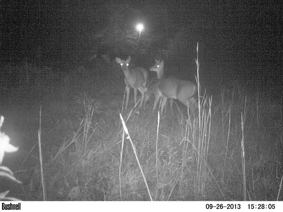 Deer Captured on Bushnell Wildlife Camera