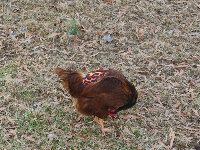 Hen Preening Wearing Chicken Saddle