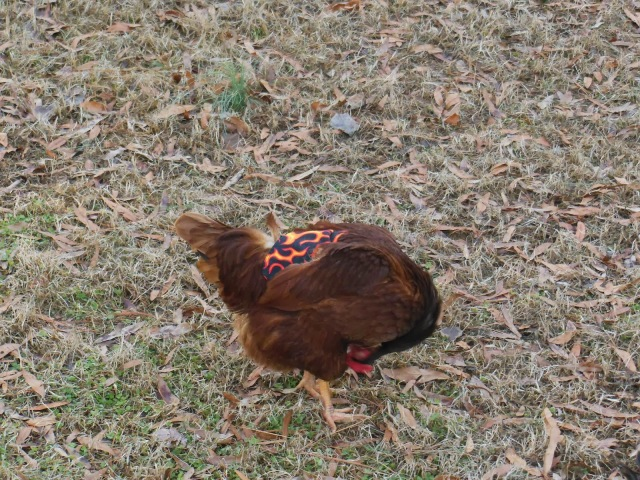 Hen Preening Wearing Chicken Saddle