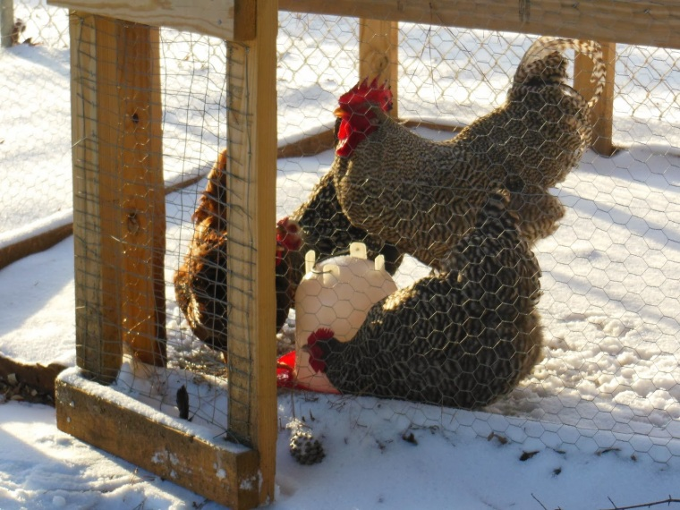 Keeping Chickens Water From Freezing During Cold Weather