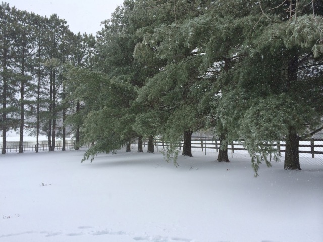 Pine Trees are Beginning to Weigh Down from Ice and Wet Snow