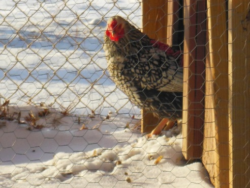 Keeping Chickens Alive During Cold Weather