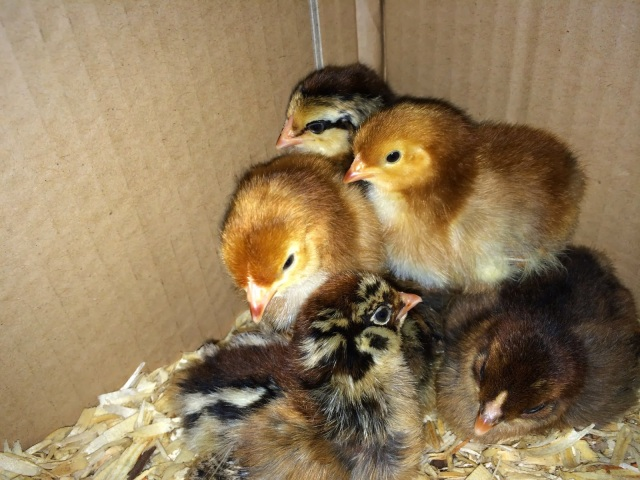 Ameraucana and Production Red Chicks - One Day Old