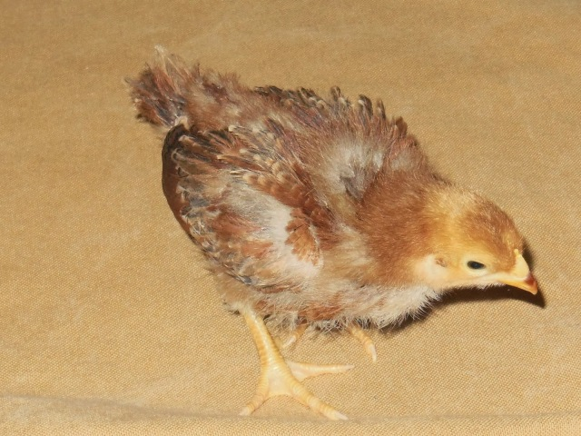 Flappy - 2 Week Old Production Red Pullet