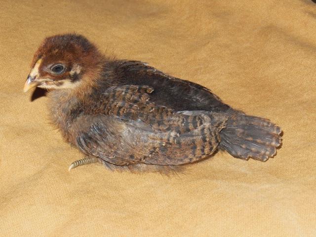 Bertha - Ameraucana Day 2 Weeks Old Chick