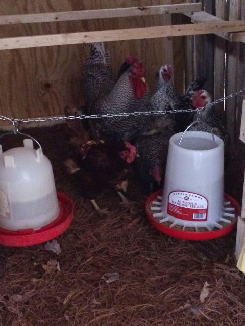 Flock Moved to Their New Coop