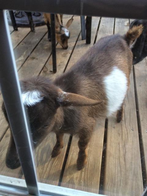 Nigerian Dwarf Baby Goat Looking Through Back Door
