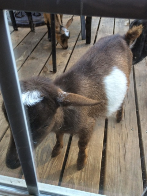 Nigerian Dwarf Baby Goat Looking Through Back Door