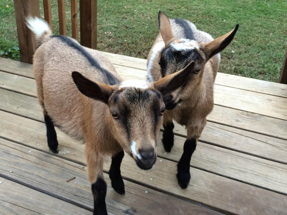 Nigerian-dwarf-goats-5-months-old-on-deck