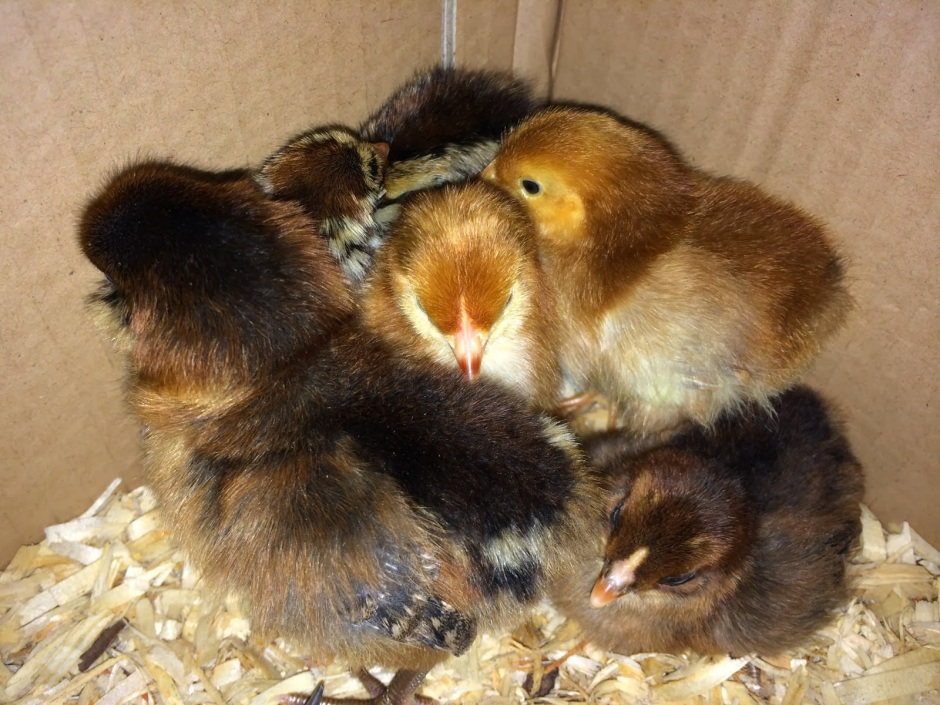 Easter-Egger-and-Production-Red-Baby-Chicks-One-Day-Old