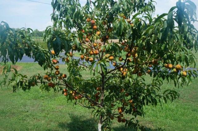 4 or 5 Year Old Semi-Dwarf Reliance Peach Tree