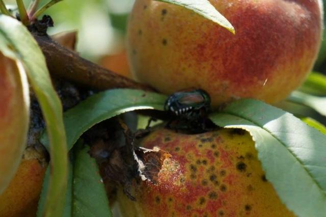 Japanese Beetle Pest on Reliance Peach