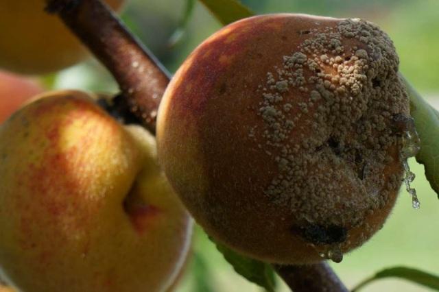 Fungus on Reliance Peach