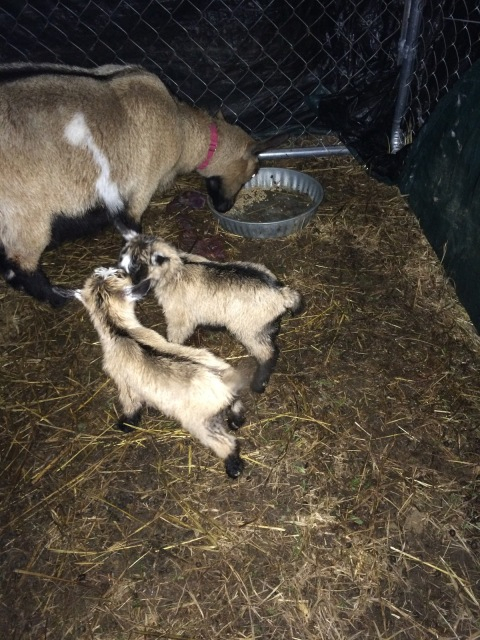 Mama Goat and Newborn Kids