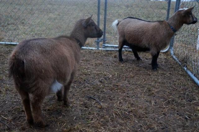 Pregnant Nigerian Dwarf Goats 1 Week Before Due