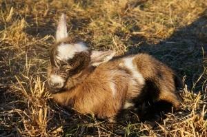 Newborn Nigerian Dwarf Boy Goat
