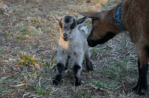 Mother Goat Cleaning Newborn Kid