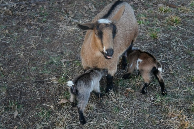 Mama Nigerian Dwarf Goat Nursing Newborn Kids
