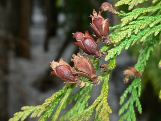 Arborvitae Thuja plicata Essential Oil