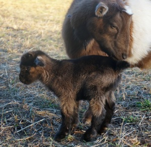 Mother Goat Caring for Newborn Kid