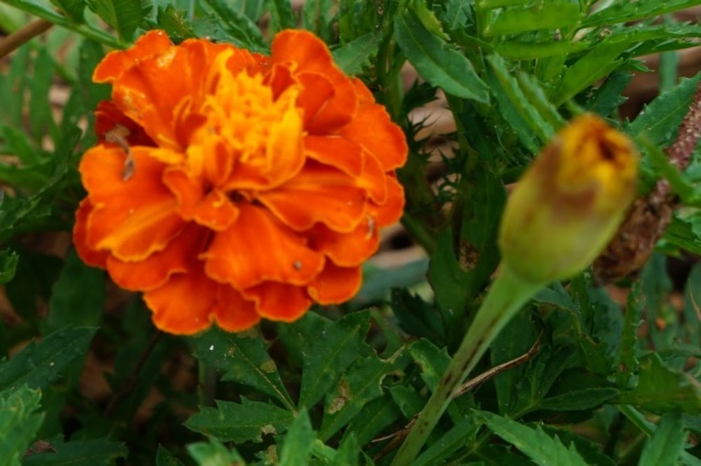 Marigolds are amazing! They are edible, medicinal, and repel animals, insects, and nematodes!
