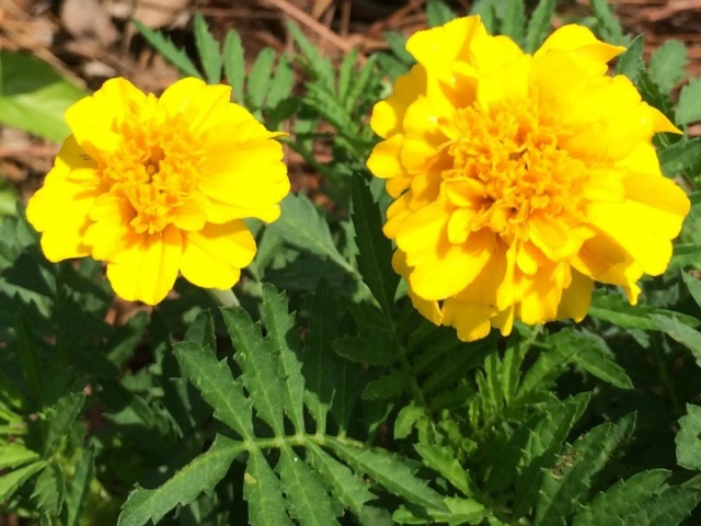 Marigolds are edible, medicinal, and repel animals, insects, and nematodes!