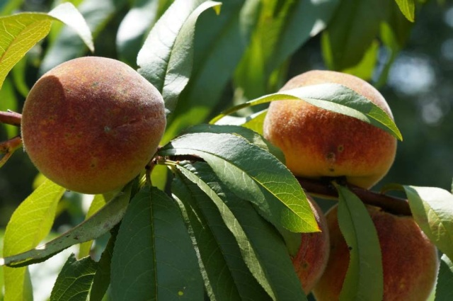 How to Grow Peach Trees by Stella Otto