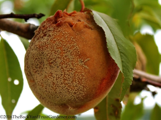 Peach Fungal Disease Brown Rot