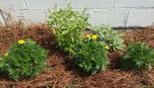 Yellow Marigold, Sweet Basil, Yellow Marigold, Garden Sage, Marigold