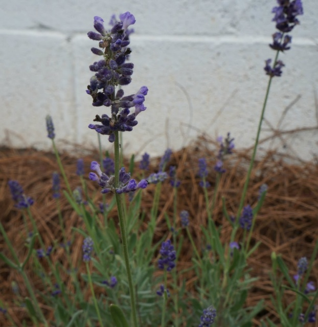 Blooming Lavender Plant