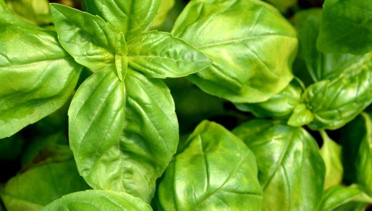 Sweet Basil (Ocimum basilicum) Essential Oil