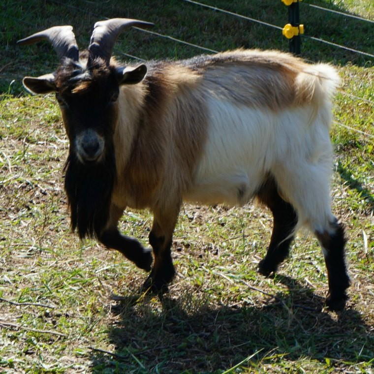 8 Things to Know Before Owning a Buck Goat, shared by Summers Acres at The Chicken Chick's Clever Chicks Blog Hop