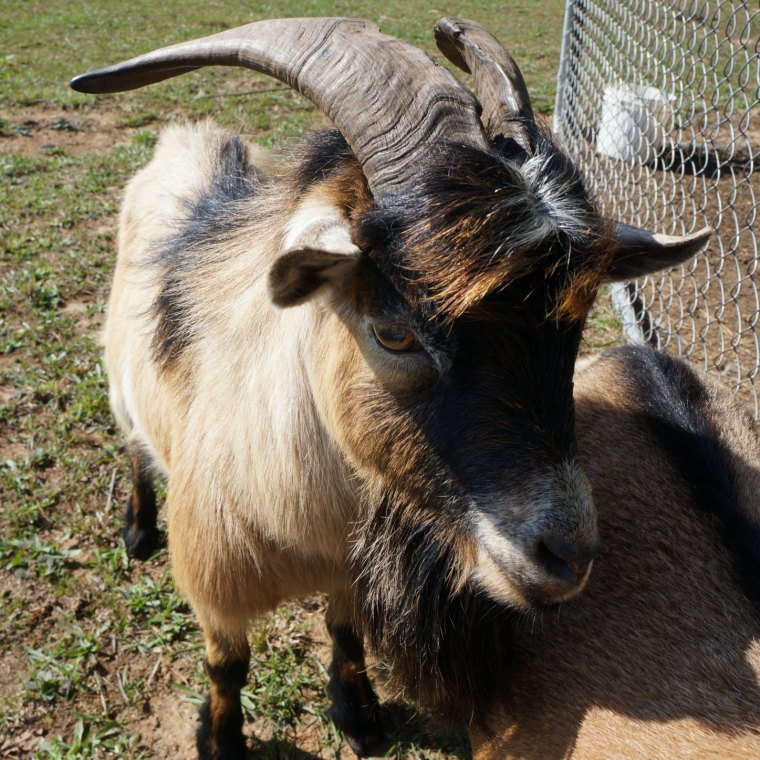 8 Things to Know Before Owning a Buck Goat – Summers Acres