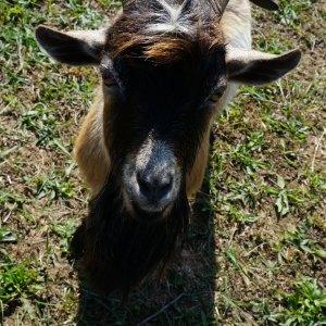 Nigerian Dwarf Buck Goat Sire