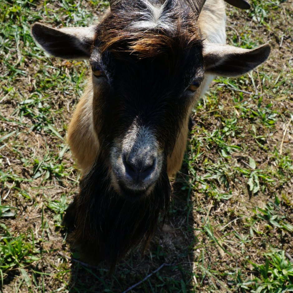 Nigerian Dwarf Buck Goat Sire