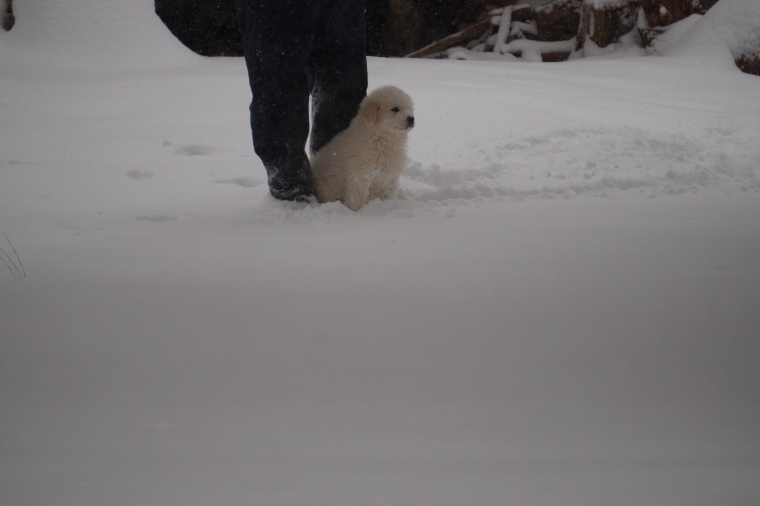 Titus Our 8 Week Old Great Pyrenees in Snow